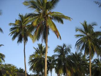Kenias Küste, Palmen © Kenya-Experience, ©Kenya-Experience