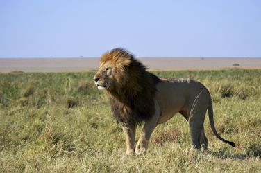 Löwe ©Kenya Experience, ©Kenya-Experience