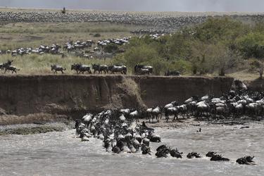 Gnuherde am Mara-Fluss © Kenya-Experience, ©Kenya-Experience