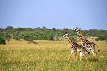 Giraffen ©Kenya Experience, ©Kenya-Experience
