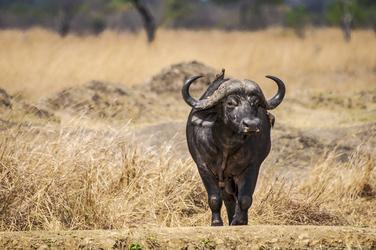 Büffel © Kenya-Experience, ©Kenya-Experience