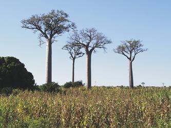 Baobabs auf Madagaskar, ©Karawane