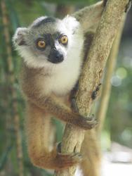 Lemur auf Madagaskar, ©Karawane