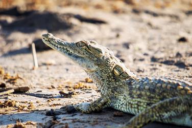 Tansania, Krokodil ©Tanzania Experience, ©Tanzania Experience