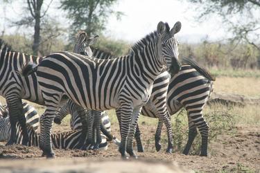 Zebraherde im Ngorongorokrater