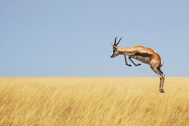 Springbock im Etosha Nationalpark © Carina - fotolia