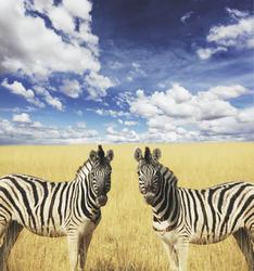 Zebras im Etosha Nationalpark © Galyna Andrushko Adobe Stock