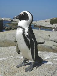 Pinguin am Boulder Strand