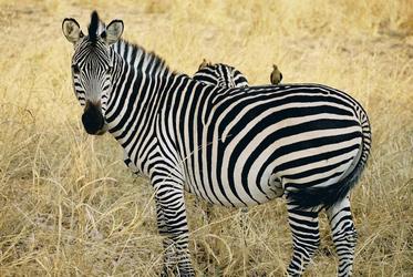 Zebra im South Luangwa Nationalpark