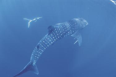 Schwimmen mit Walhaien am Ningaloo Reef