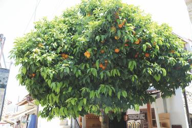 Orangenbaum auf Zypern