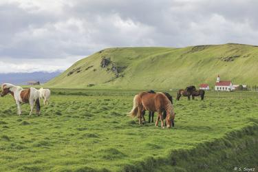 Islandpferde, ©Sina Soyez