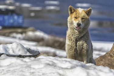 Grönlandhund - c Chelsea Claus, ©Chelsea Claus