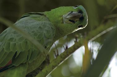 Papagei (© Ara Tours)