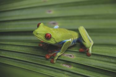 Rotaugenlaubfrosch Costa Rica, ©Karawane