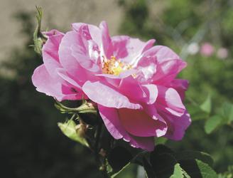 Damaszener Rose - ©Oriental Agentur