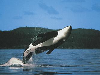 Orca-Wale nahe Vancouver Island