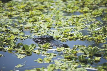 Alligator in den Florida Everglades - ©Quentin Bacon, ©Quentin Bacon